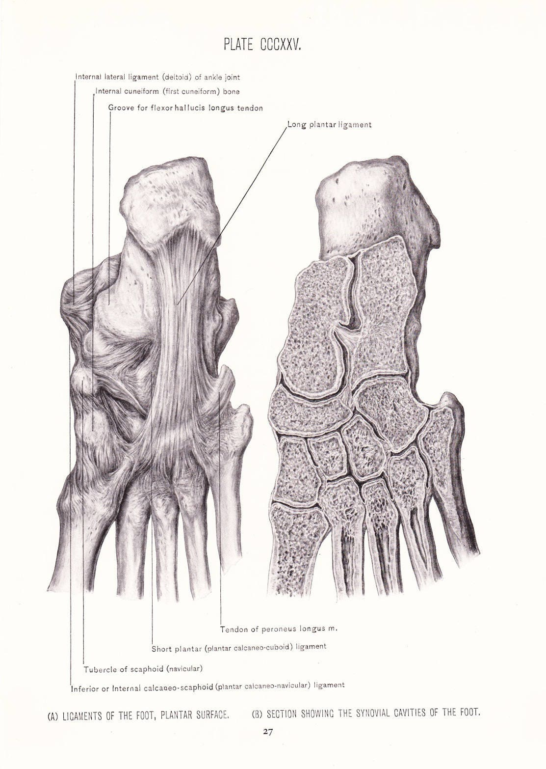 1926 Human Anatomy Print Ligaments Of Foot Plantar Muscles Etsy
