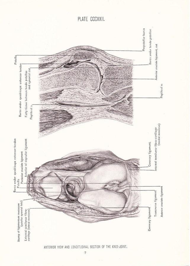 Anatomy 1926 Human Anatomy Print Anterior View of Knee Joint | Etsy