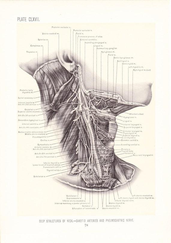 Anatomy 1899 Human Anatomy Print Deep Structures Of Neck Etsy