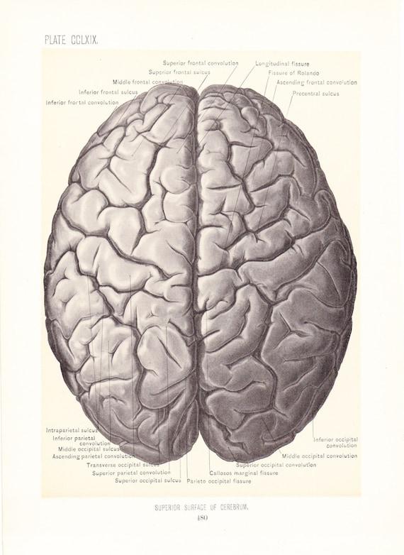 1899 Human Anatomy Print Superior Surface Of Cerebrum Brain Etsy