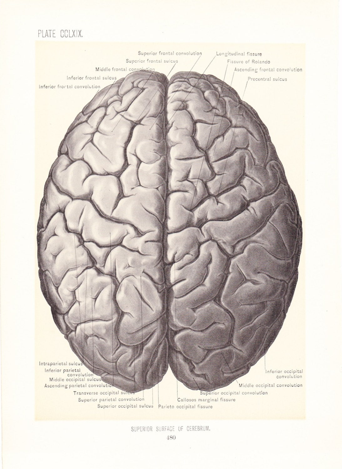 1899 Human Anatomy Print Superior Surface Of Cerebrum Brain Etsy