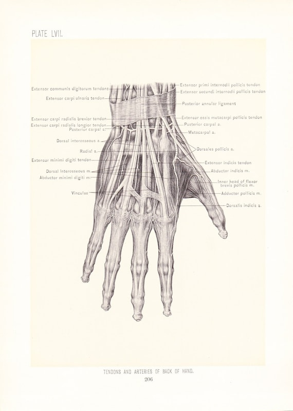 1899 Human Anatomy Print Tendons And Arteries Of Hand Etsy