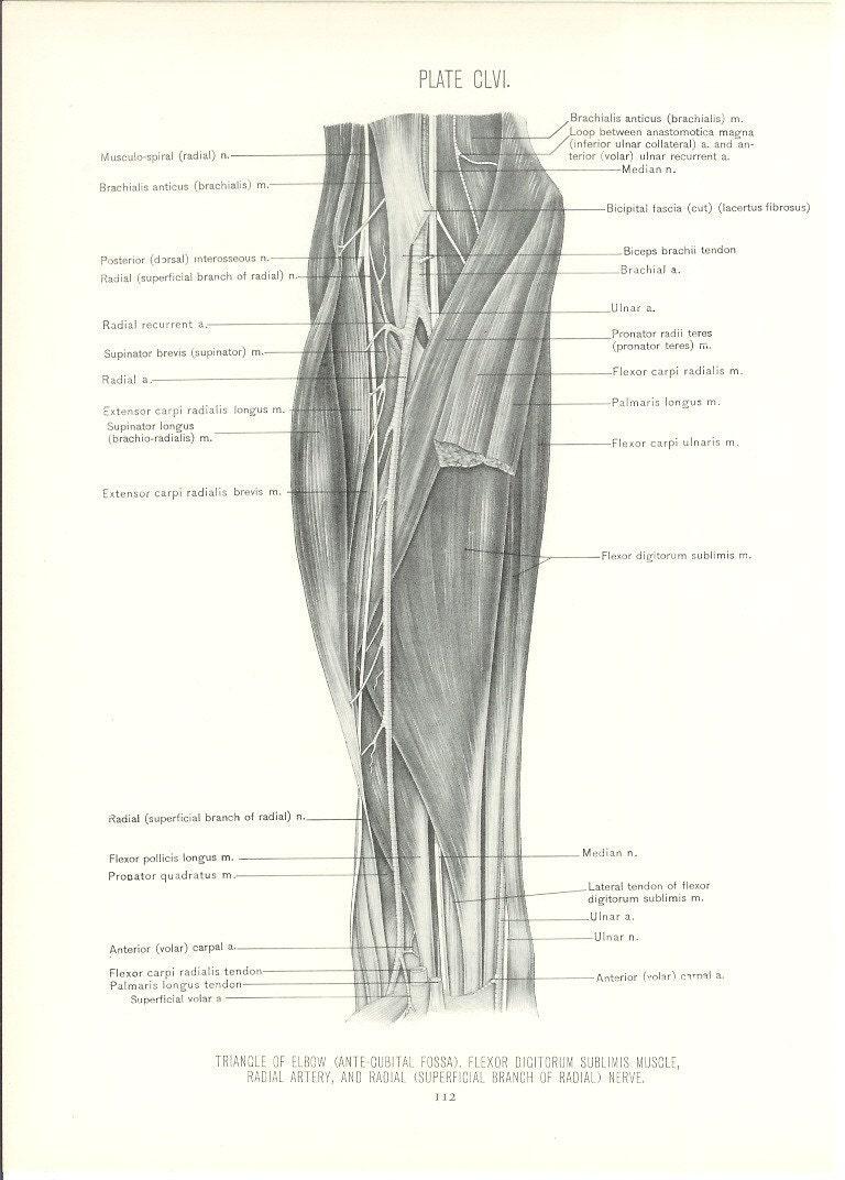 Anatomy 1926 Human Anatomy Print Elbow Triangle Vintage Etsy