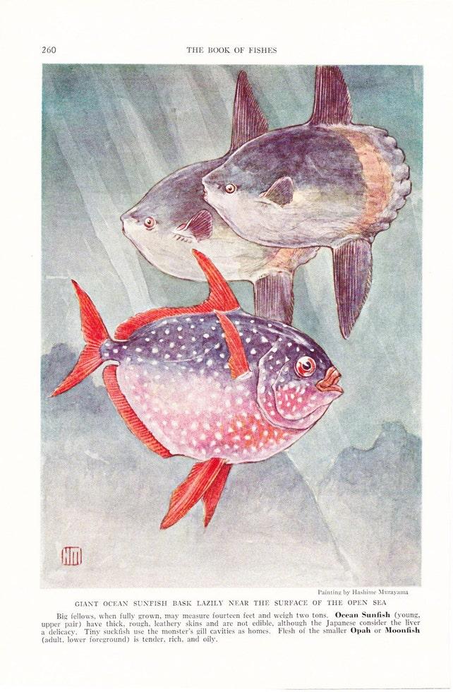 Fish 1939 Fish Print Ocean Sunfish Moonfish Vintage | Etsy