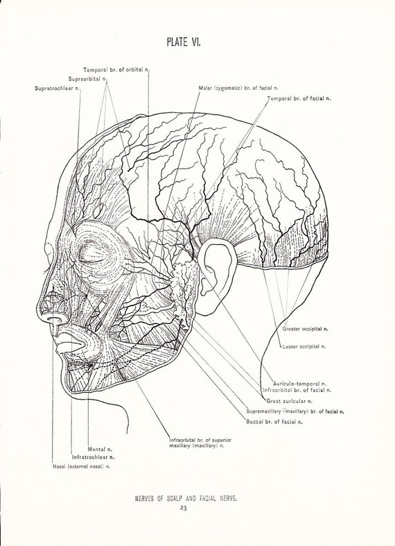 Anatomy 1926 Human Anatomy Print Nerves Of Face And Scalp Etsy