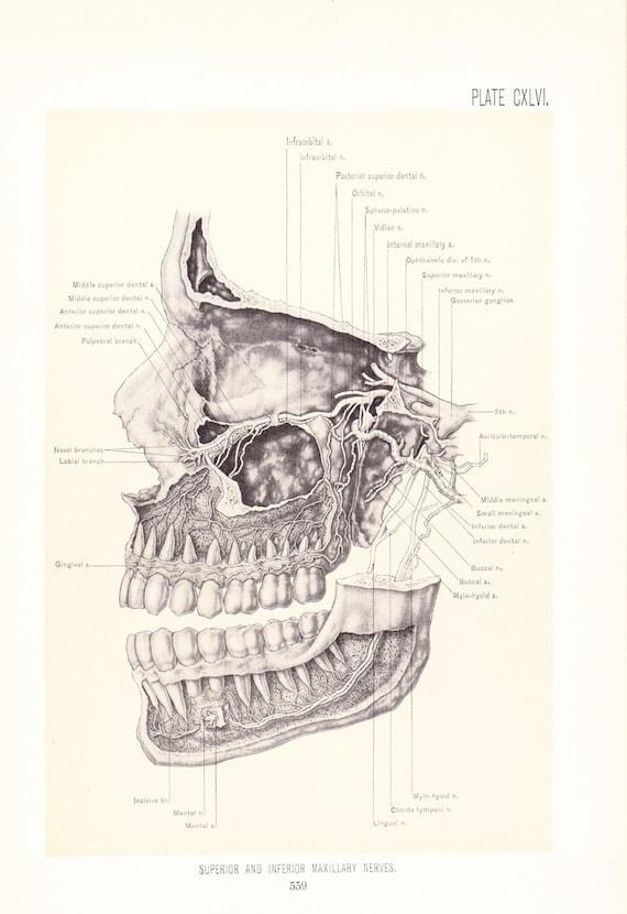 Anatomy 1899 Human Anatomy Print Maxillary Nerves Vintage Etsy