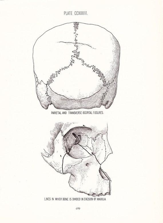 Anatomy 1926 Human Anatomy Print Diagram Of Skull Fissures Etsy