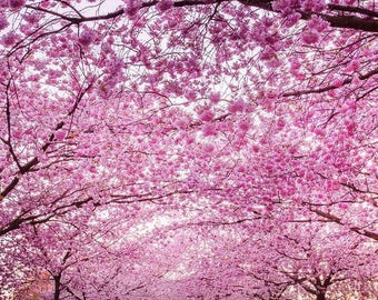 Cherry Blossom, Perfume Sakura Fragrance, Perfume Oil, Spring Cologne, Springtime, Best Festival Scents, Cherry Blossom, Renewal, Floral