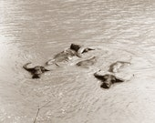 Swimming Water Buffalo, photograph taken by Lagana in 1971