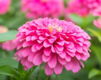 Heirloom Luminosa Zinnia Flower Seeds Cutting Garden Organic Non Gmo Container Gardening Pink Annual