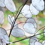 Heirloom Money Silver Dollar Seeds Flower Garden Organic Wildflower Seed Honesty Lunaria annua biennis Purple Flowers