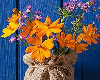 Heirloom Cosmos Flower Seed Garden or Container Organic Annual or Perennial Bright Lights Mix Container Friendly
