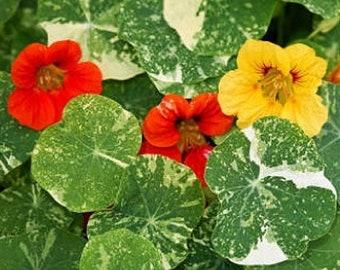 Heirloom Alaska Nasturtium Variegated Mix Organic Flower Herb Seed Garden Attracts Hummingbirds & Bees Container friendly Companion planting