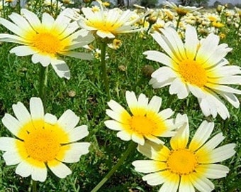 Heirloom Garland Daisy Flower Seed Garden Organic Non Gmo Edible Wildflower Chrysanthemum coronarium