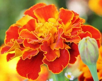 Heirloom Marigold Sparky French Mix Organic Flower Seed Garden Container Friendly Non Gmo