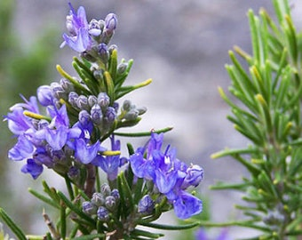 Heirloom Rosemary Seeds Herb Garden Organic Seed Non Gmo Container Friendly Culinary Medicinal Rosmarinus officinalis