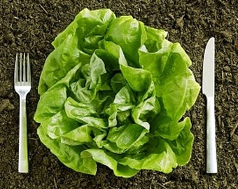 Heirloom Kentucky Bibb Lettuce Seeds Vegetable Garden Organic Seed Non Gmo Butterhead Microgreens Micro Greens Container Gardening