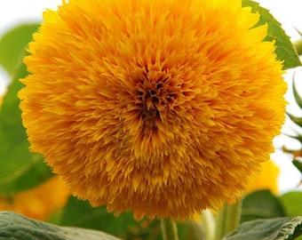 Heirloom Teddy Bear Sunflower Seeds Flower Garden Organic Seed Non Gmo