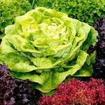Heirloom Spring Lettuce Mix Seeds Vegetable Seed Garden Organic Non Gmo Container Friendly