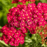 Organic Red Yarrow Heirloom Wildflower or Herb Seeds