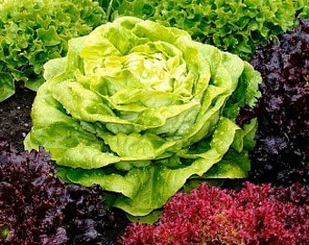 Heirloom Spring or Fall Lettuce Mesclun Mix Micro greens Seeds Vegetable Seed Garden Organic Non Gmo Container Friendly