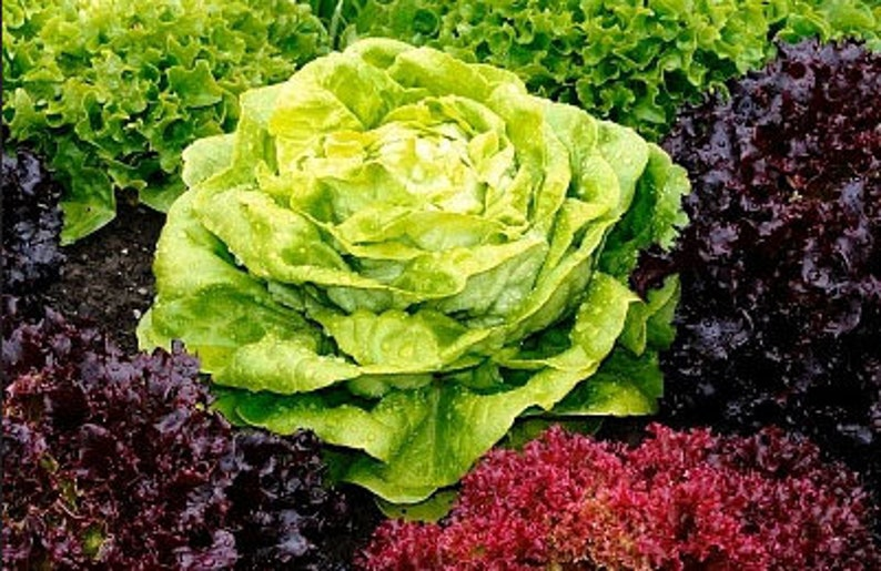 Heirloom Spring or Fall Lettuce Mesclun Mix Micro greens Seeds image 0