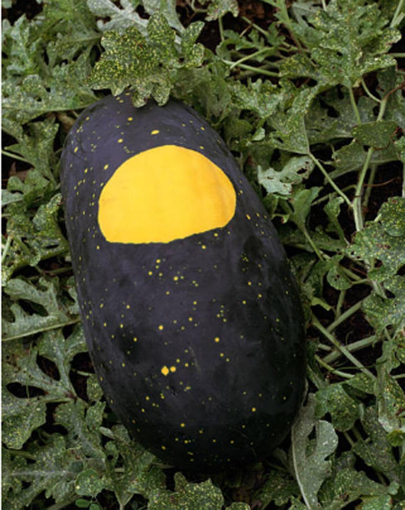 Heirloom Watermelon Moon & Stars Vegetable Fruit Seed Organic image 0