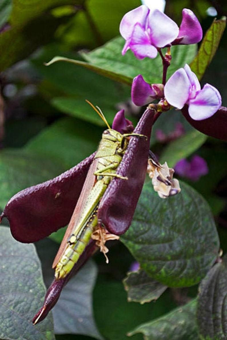 Heirloom Hyacinth Bean Seeds Flowering Annual Vine Garden image 0