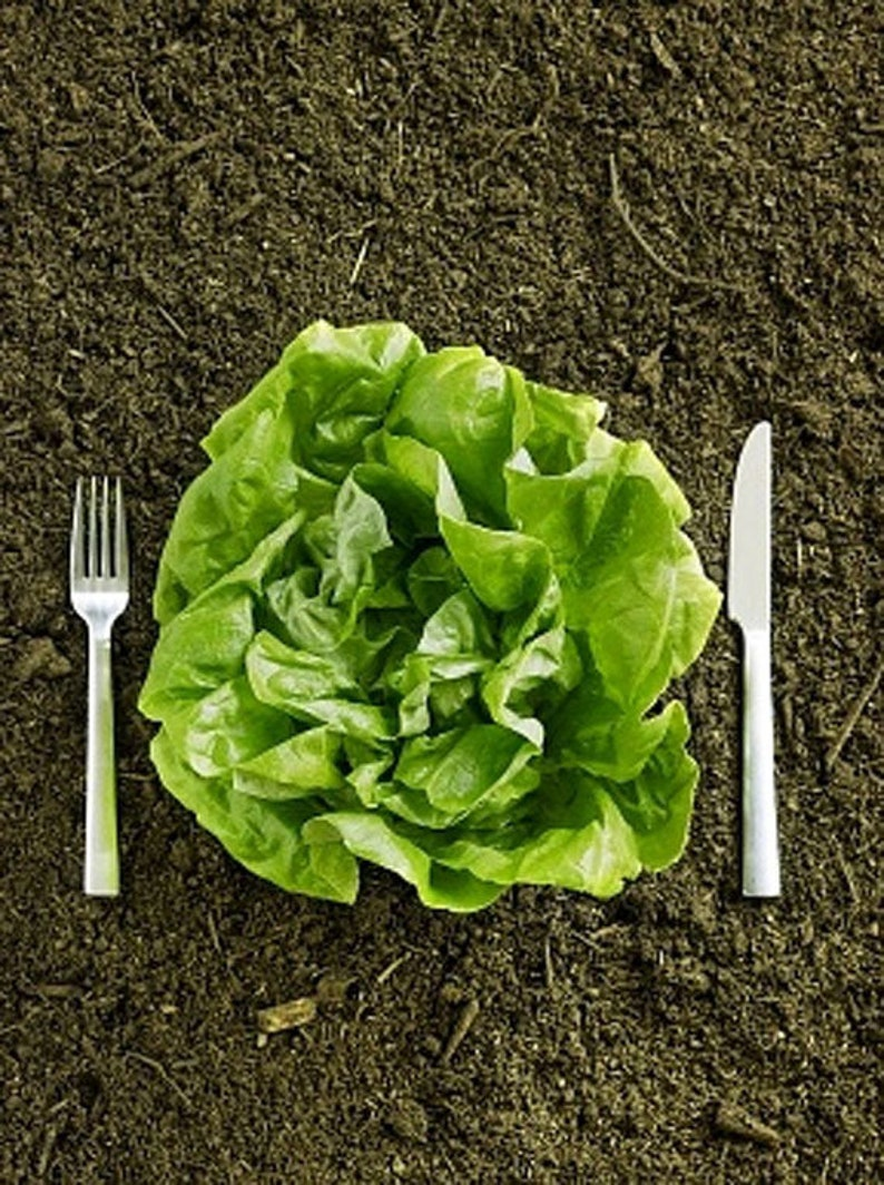 Heirloom Kentucky Bibb Lettuce Seeds Vegetable Garden Organic image 0