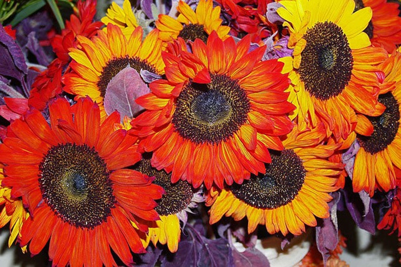 Heirloom Autumn Beauty Sunflower Seeds Flower Garden Organic image 0