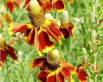 Heirloom Mexican Hat Upright Prairie Coneflower Wildflower Flower Seed Organic Garden Non Gmo