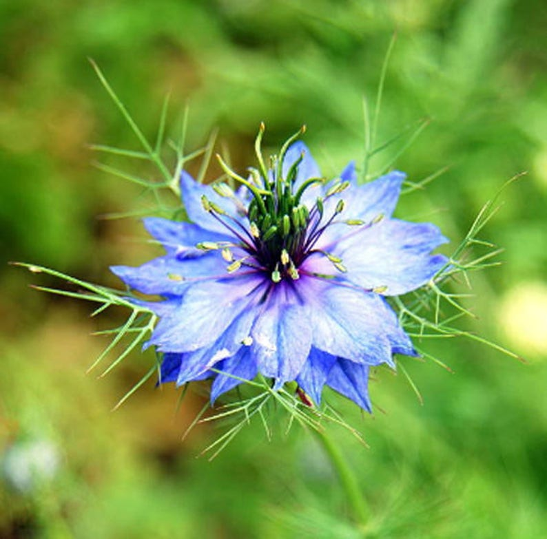 Heirloom Love-in-a-Mist Nigela Flower Seed Organic Non Gmo image 0