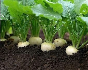 Heirloom Turnip White Egg Vegetable Seed Organic Garden Non Gmo