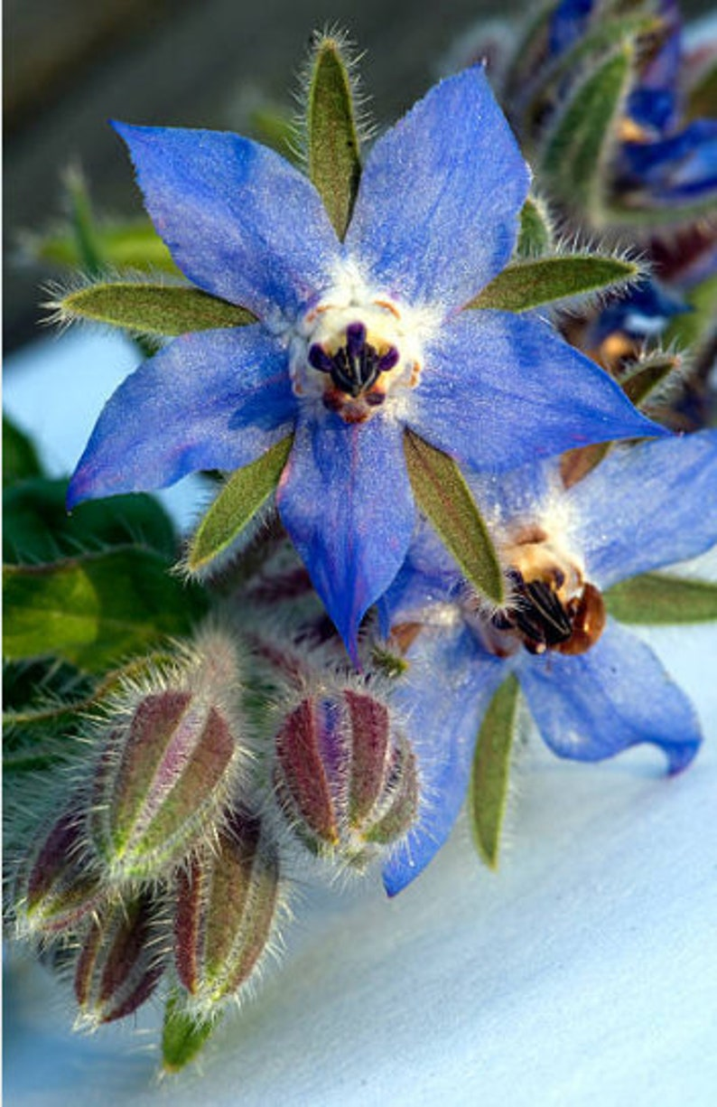 Heirloom Borage Herb Seeds Flower Garden Organic Seed Non Gmo image 0