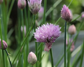 Heirloom Onion Common Chives Herb Vegetable Seed Garden Organic Non Gmo Asian Container Friendly Purple Flowers