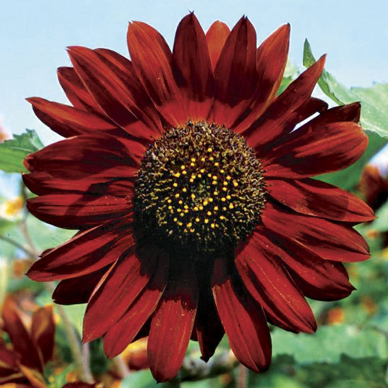 Heirloom Sunflower Velvet Queen Flower Seed Garden Organic Non image 0