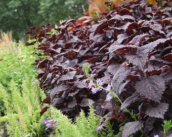 Perilla Red Purple Shiso Organic Herb Seeds Heirloom Zi Su frutescens Mircrogreen Korean Japanese Chinese Vegetable Container Garden 紫蘇 赤じそ