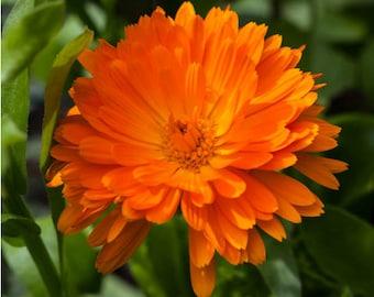 Heirloom Calendula Pot Marigold Seeds Flower Garden Organic Herb Seed Container Gardening Companion Planting Saffron Substitute English