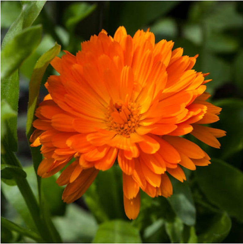 Heirloom Calendula Pot Marigold Seeds Flower Garden Organic image 0
