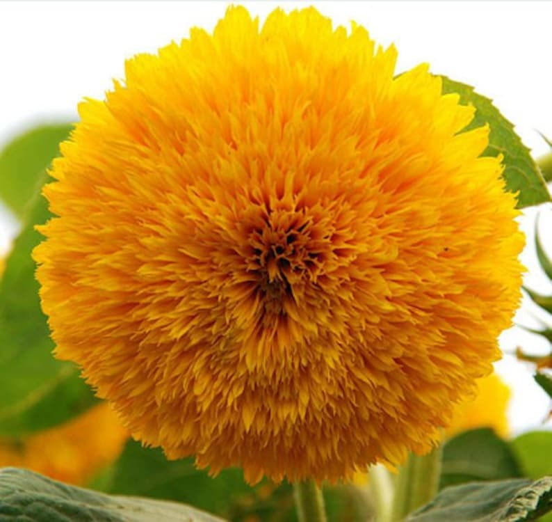 Heirloom Teddy Bear Sunflower Seeds Flower Garden Organic Seed image 0