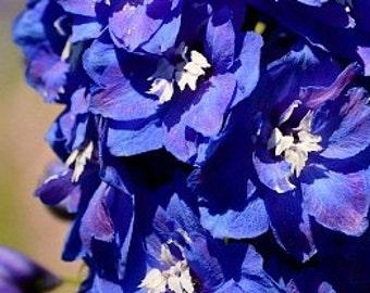 Heirloom Rocket Larkspur Mix Organic Flower Wildflower Garden Seeds Pink Blue Purple White