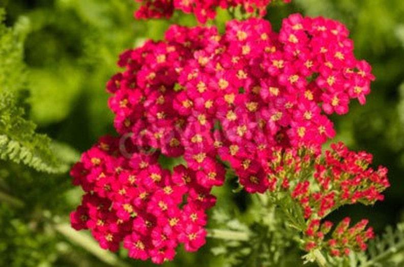 Organic Red Yarrow Heirloom Wildflower or Herb Seeds image 0