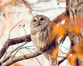 Owl on a Tree Branch in Autumn, Nature Photography, Wildlife Photography, Bird Photography