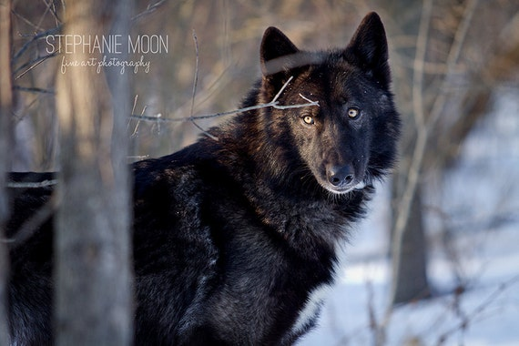 print of a black wolf wolf photography wolf picture etsy print of a black wolf wolf photography wolf picture wildlife photography picture of wolf black wolf