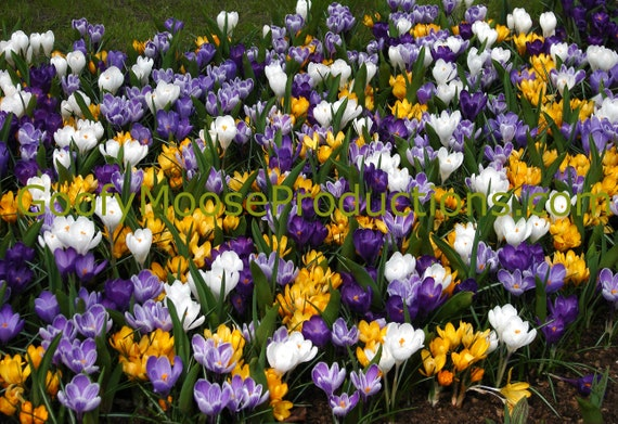 Purple, Yellow and White Flowers Art Photography Instant Download