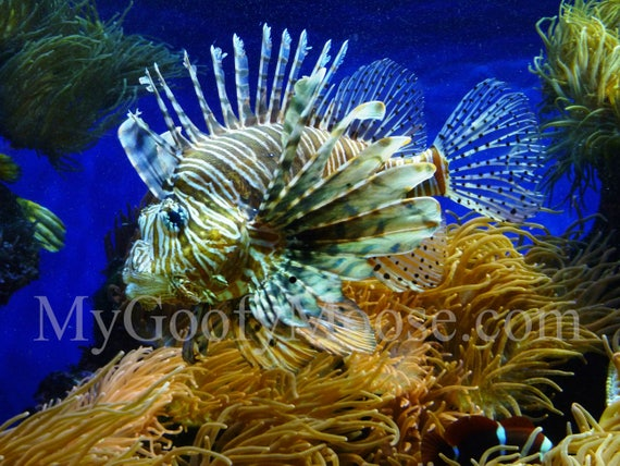 Lion Fish Photo Instant Download - Lion Fish Art Photography - Aquarium Art for Beach Lovers - Travel Photography