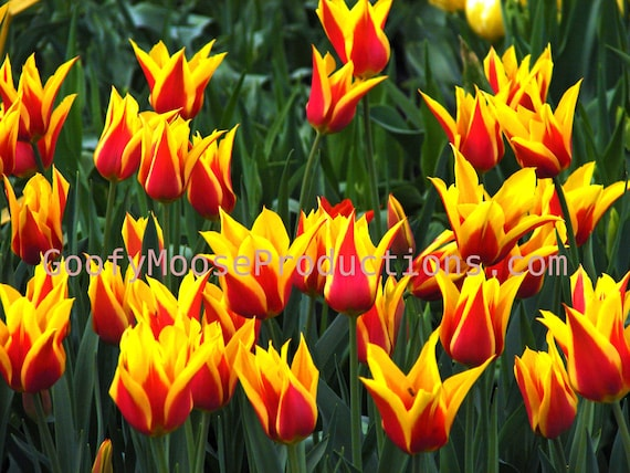 Flower Photo Instant Download - Yellow and Red Flowers Art Photography - Netherlands Keukenhof Travel Photography