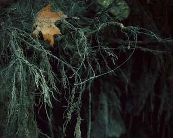 """Nature Photography, Rustic, Woodland, Earthy, Tree, Roots, Leaf, Forest, Dark, Gothic, 6x9 or 8x12. """"Uprooted""""."""