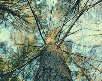 """Nature Photography, Trees, Blue Sky, Rustic Art Print, Home Decor, 6x9, 8x10 or 8x12. """"The Trees, No.2""""."""