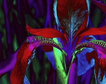 """Nature Photography, Flower, Iris, Garden, Spring, Blue, Green, Choice of Color Finishes, 6x9, 8x12. """"Iris, No.1""""."""